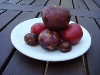 Maine potatoes purple red