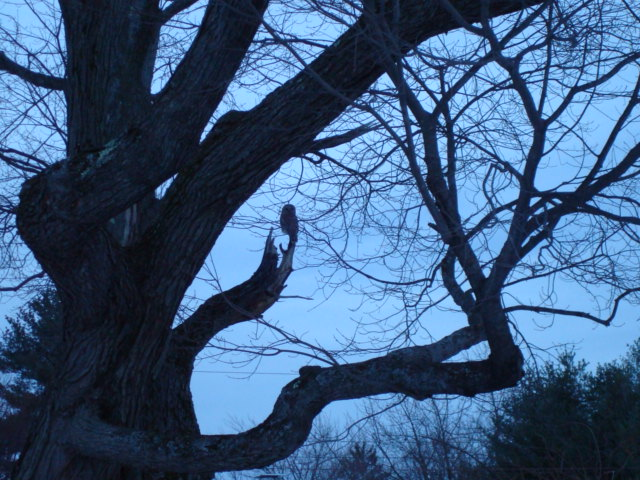 An owl in maine
